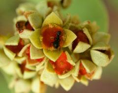 quondong blossom santalum acuminatum