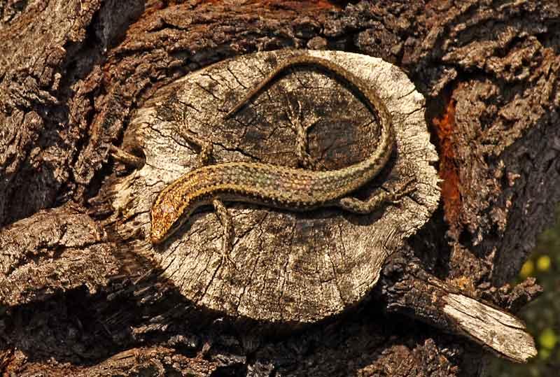 Skink on Tuart Tree in Trigg Bushland Western Australia