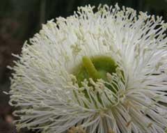 tuart blossom