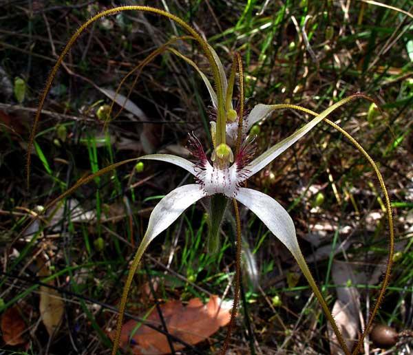 Caladenia longicauda