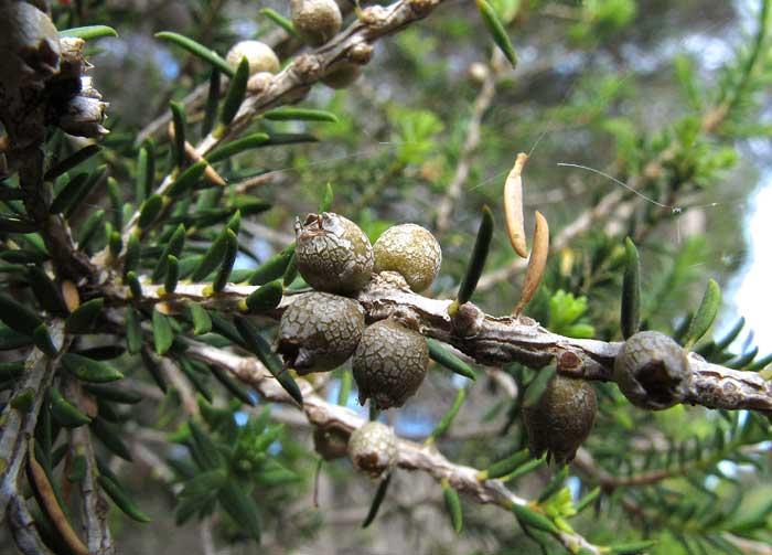 Melaleuca lanceolate