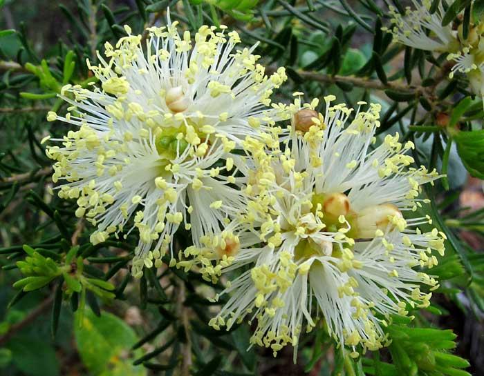 Melaleuca systena