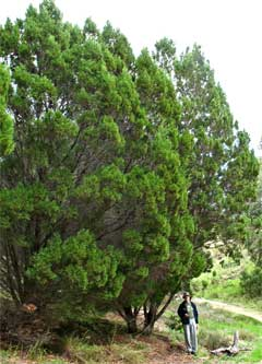 Callitris preissii Rottnest Island Pine mature tall threatened ecological community