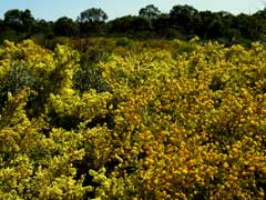 Trigg bushland Acacia truncata and Acacia pulchella