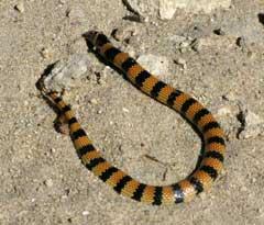 Jan's Banded Snake Simoselaps bertholdi