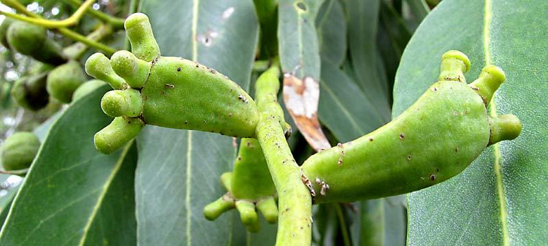 Tuart buds in Trigg Bushland