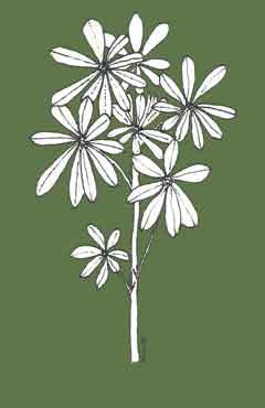 Trigg bushland weed Lupinus cosentiii drawing N McLaren