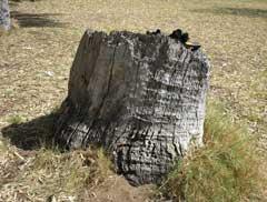 Trigg bushland tuart stump w=240 h=182